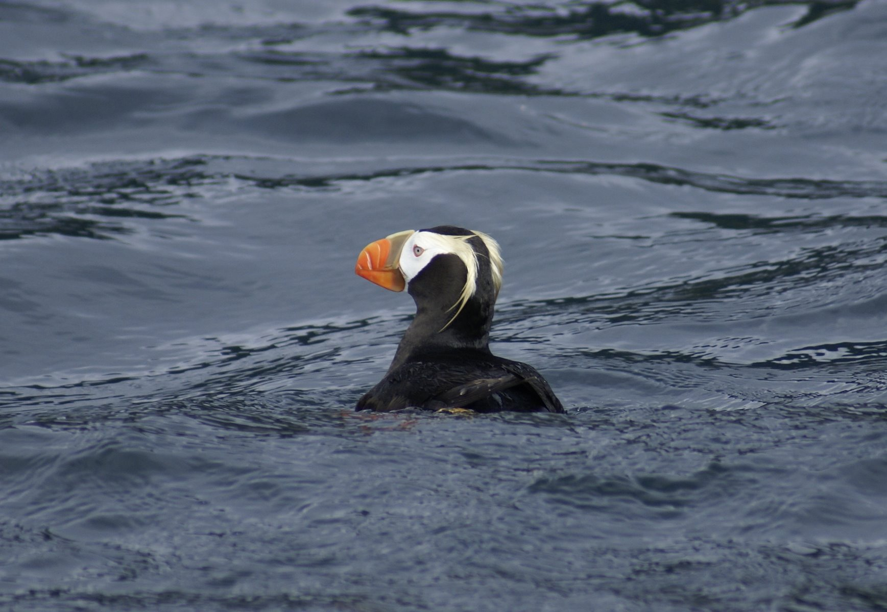 Puffins, once common are now quite rare.