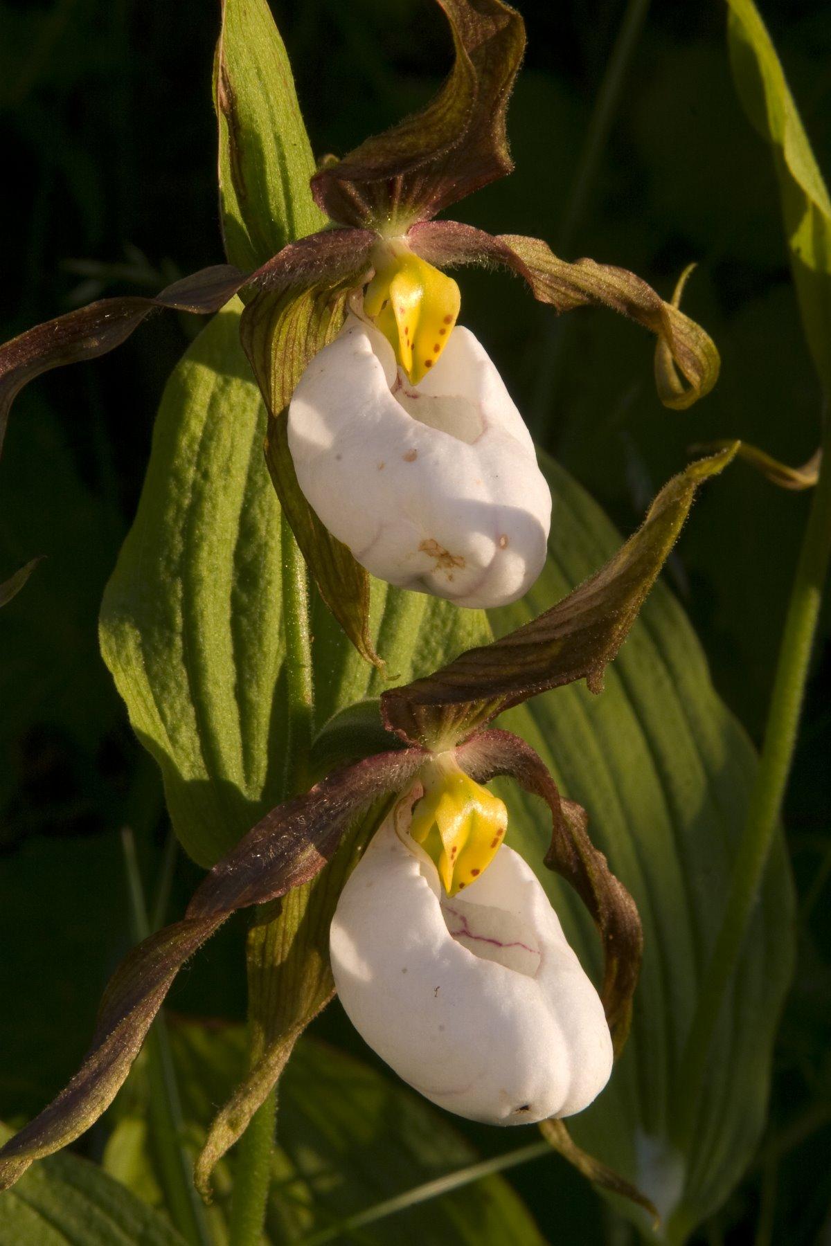 Glacier Bay orchids.