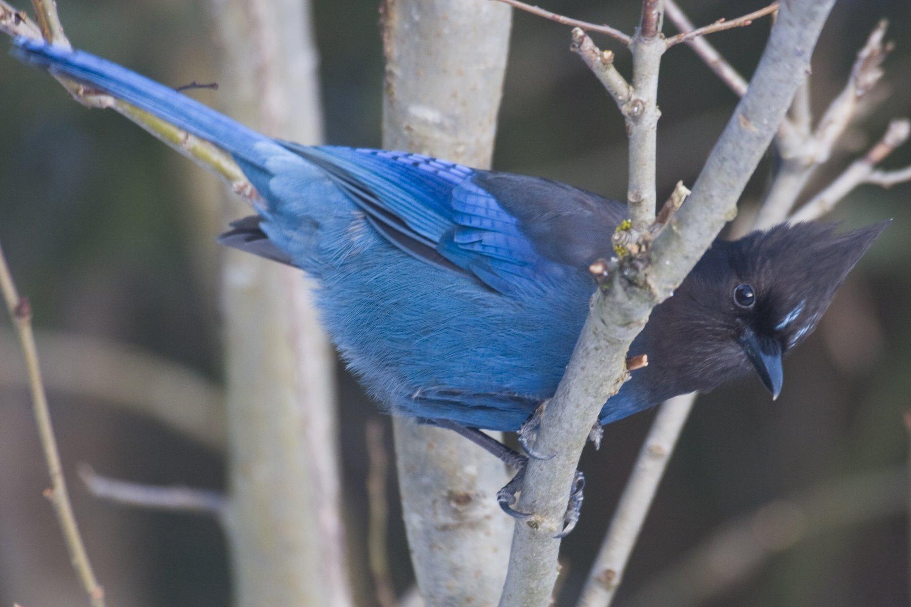 Vibrant blue Stellers Jay.