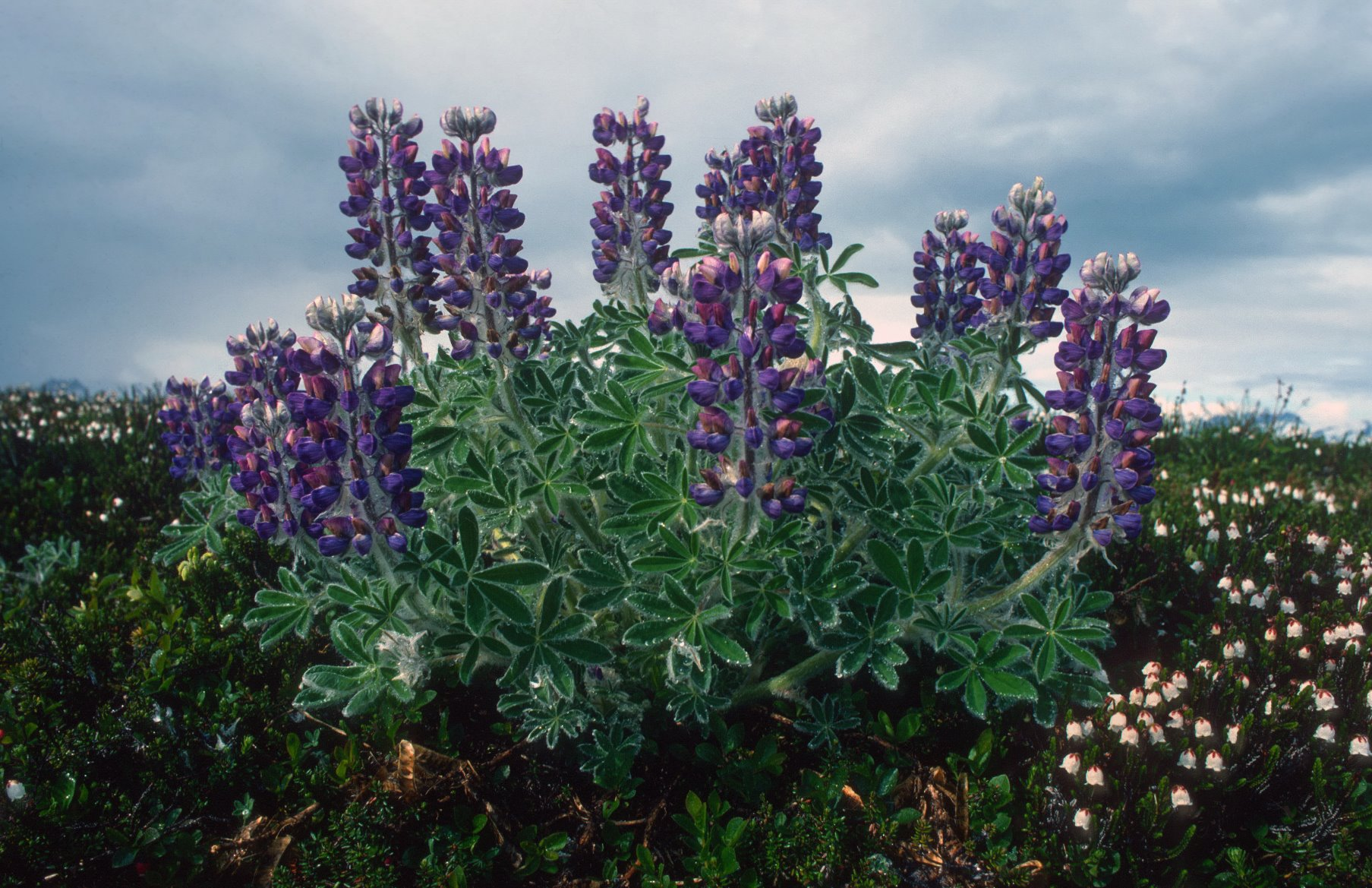 Lupine plants near the summit of Tree Mountain.