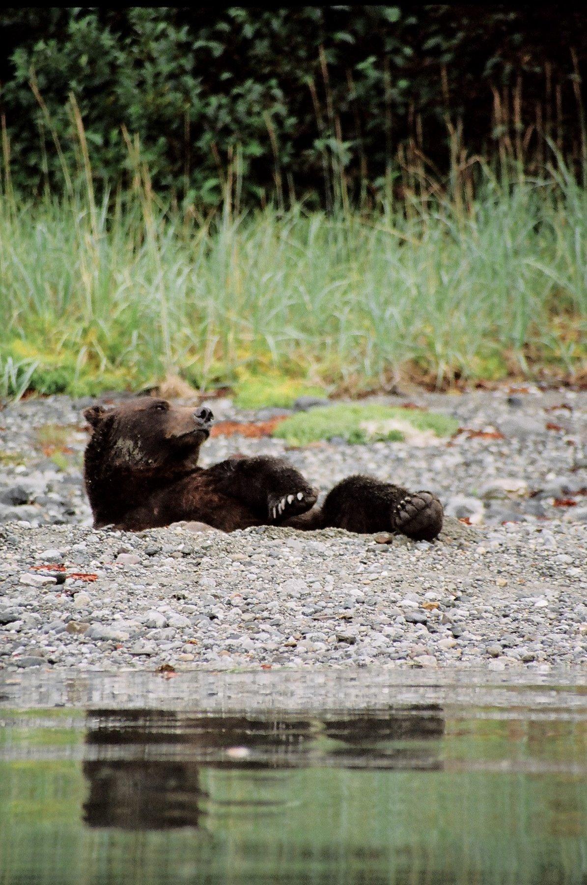 Bears eating during the salmon run.