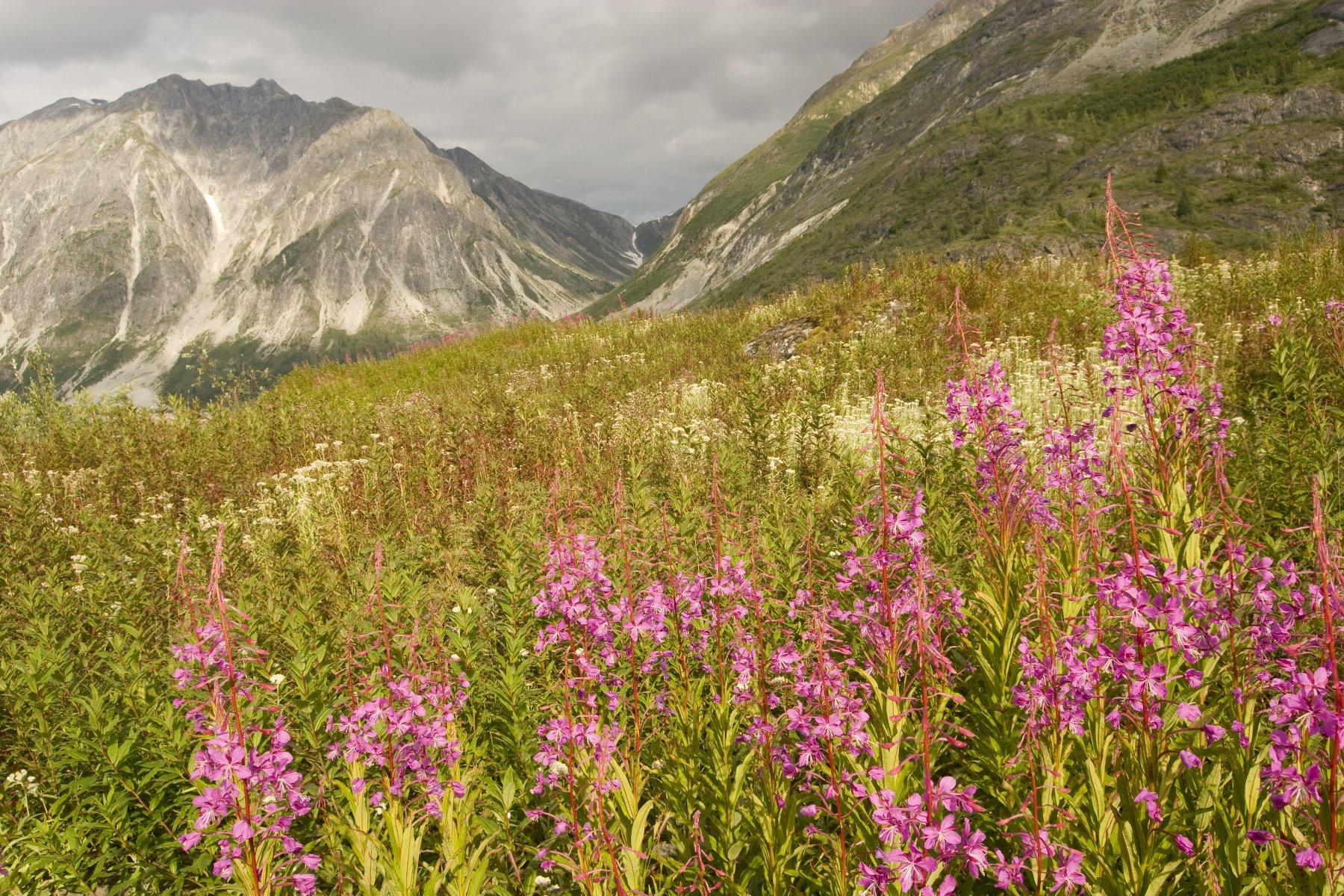 August wildflowers in Glacier Bay.