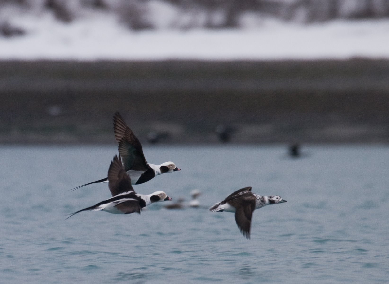 Long-tailed Ducks, formerly called Oldsquaws, congregate into groups of many hundreds of birds during the spring.