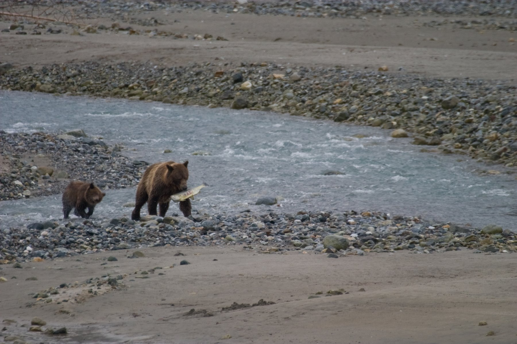 Brown bear and her cub having some success at fishing.