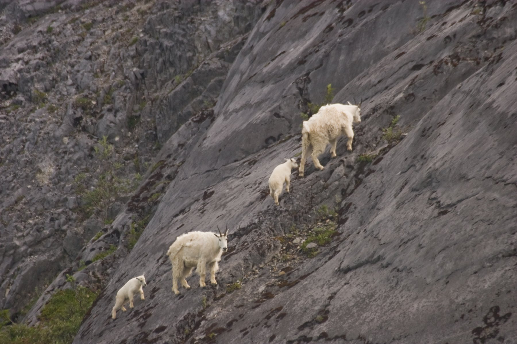Mountain goats at Gloomy Knob.