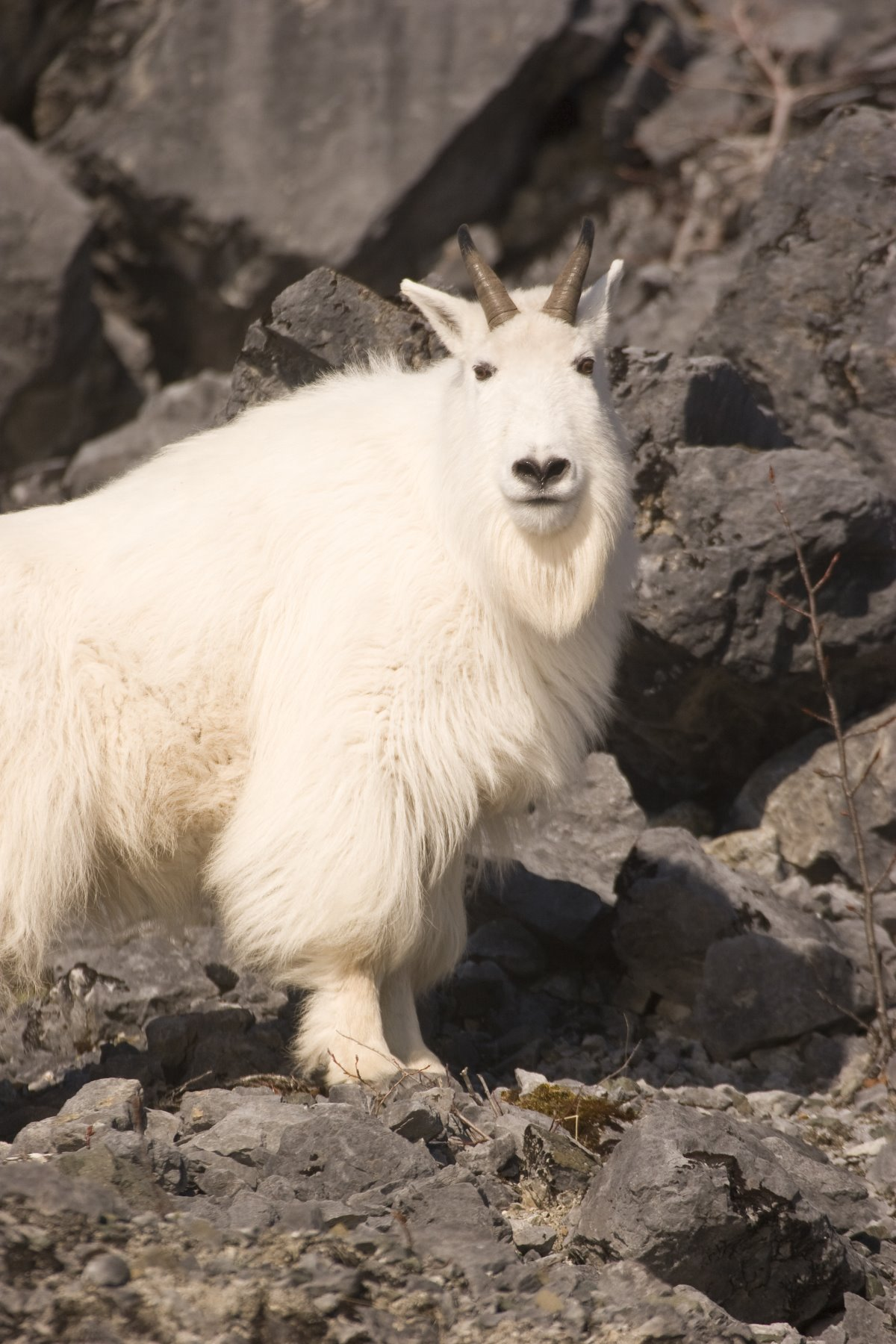 Early Spring mountain goat in Glacier Bay.