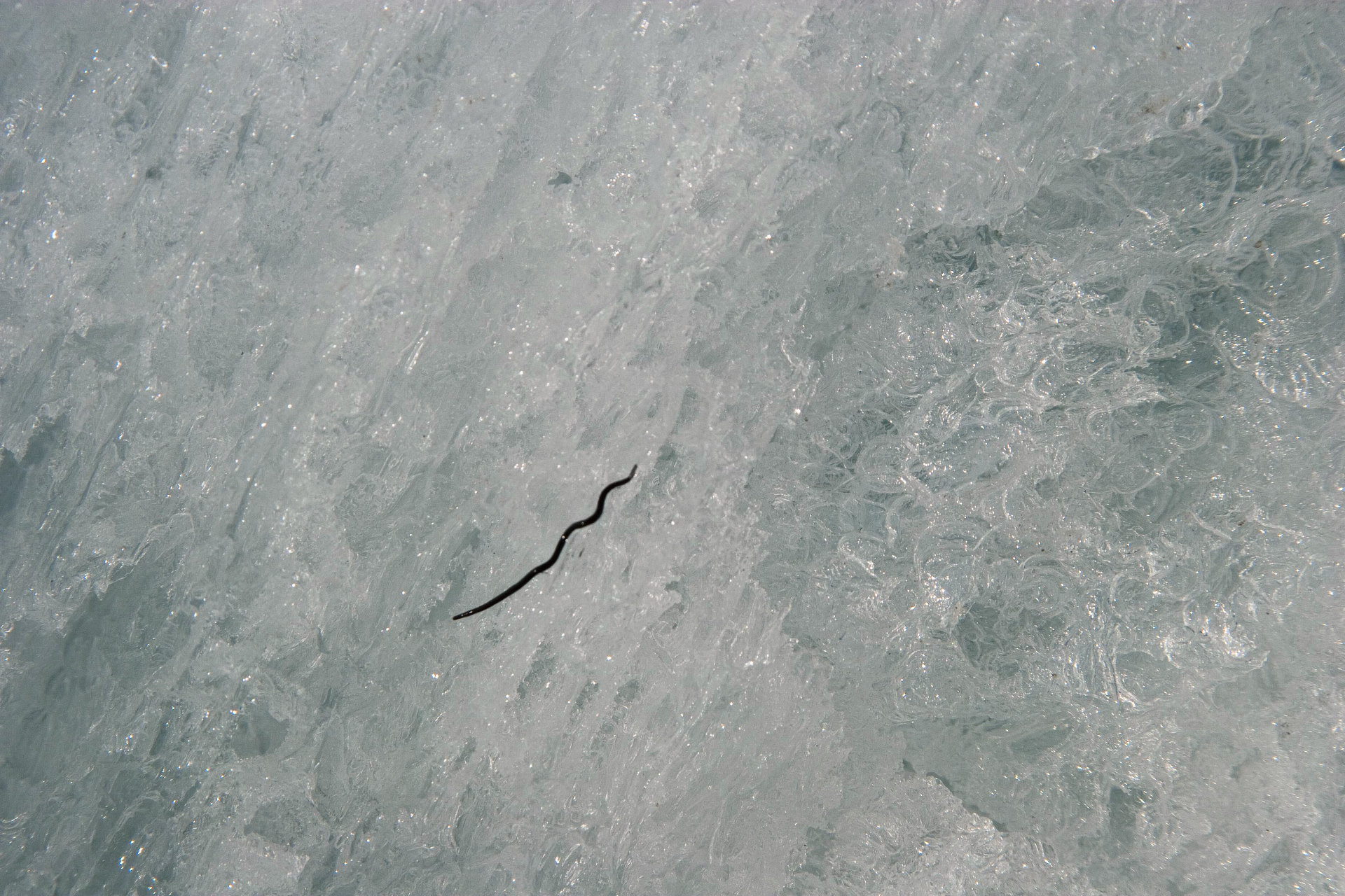 Ice worms crawling around the granulated snow.