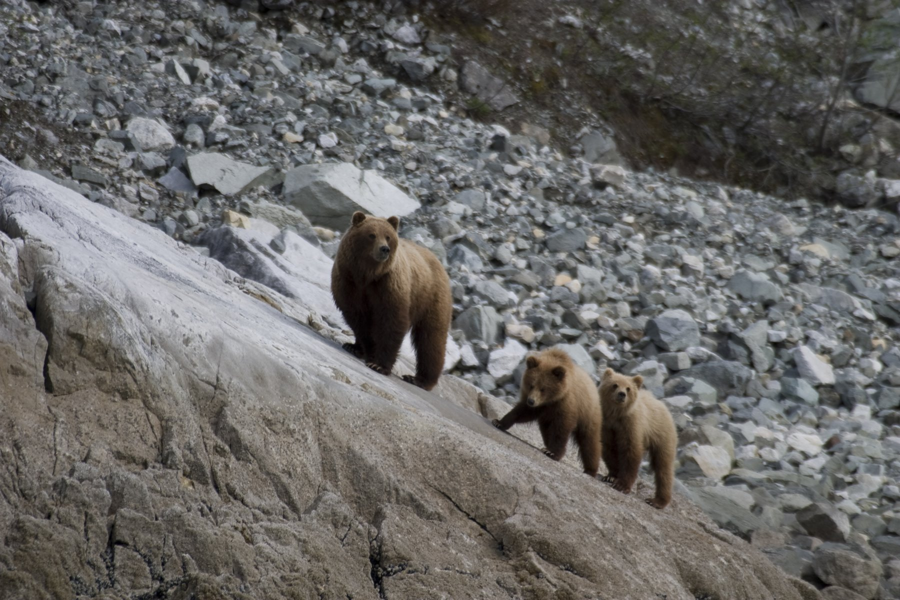 Brown bear and her two cubs near the rich intertidal zone.