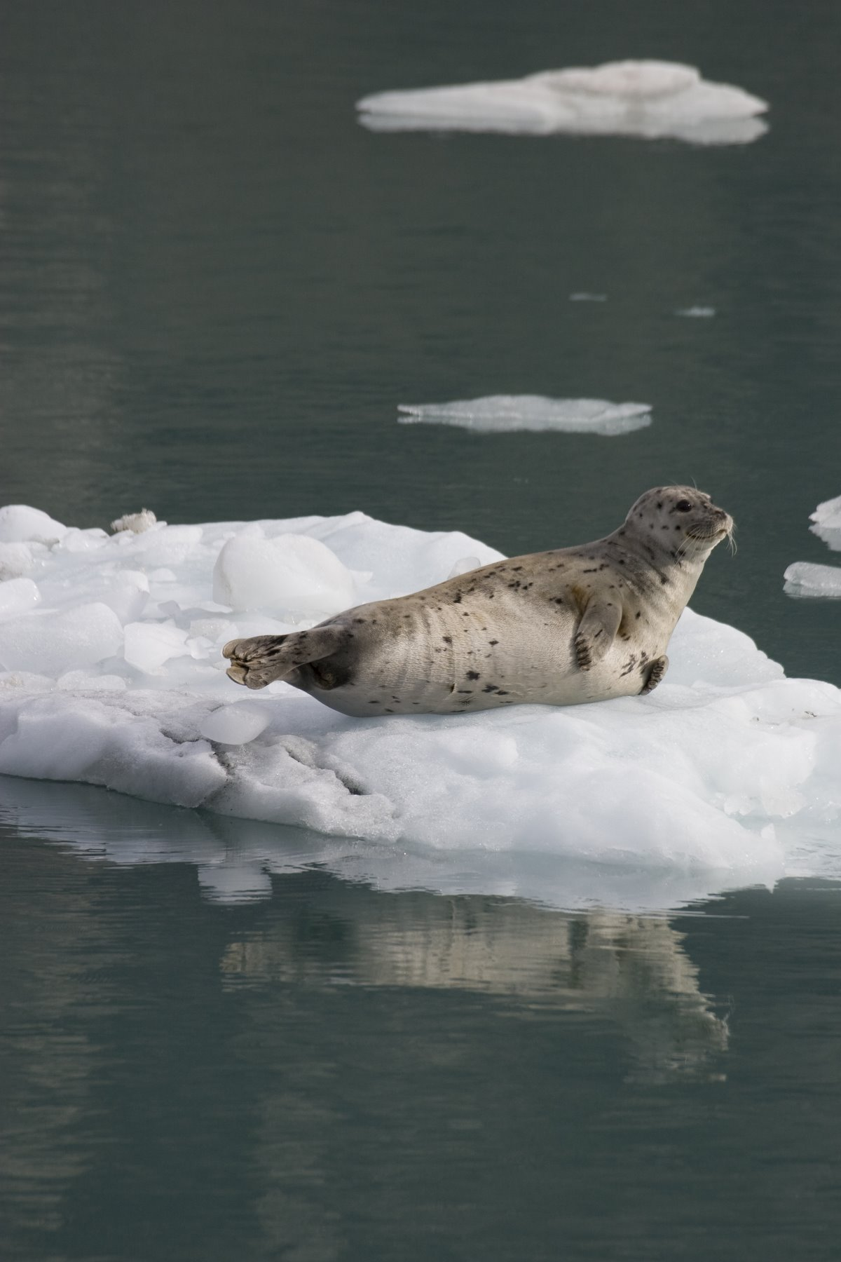 Harbour seals in Glacier Bay