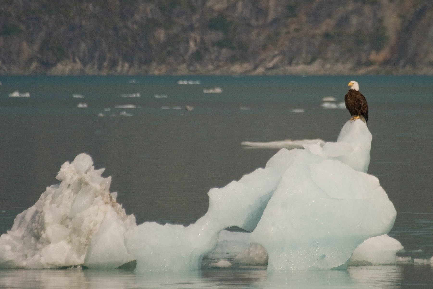 Eagles on icebergs are not uncommon in Glacier Bay.