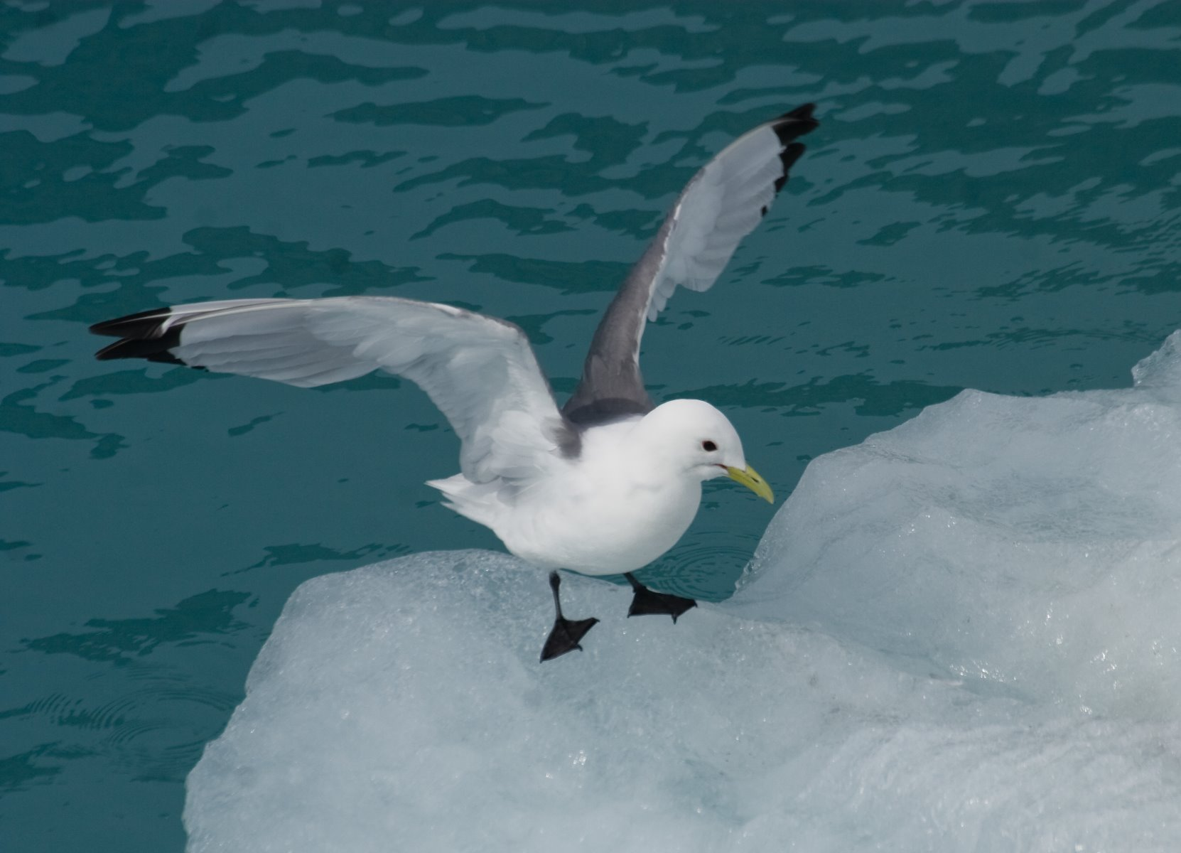 Black-legged kittiwakes are a fairly common sight near the faces of Glacier Bay's