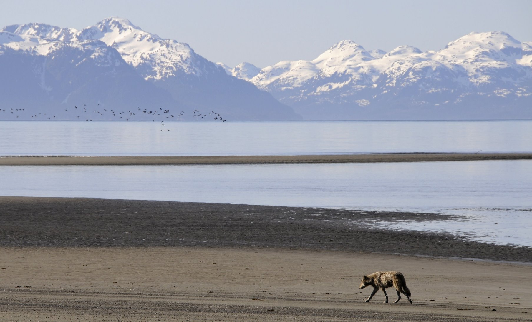 Wolf strolling down a beach in Glacier Bay