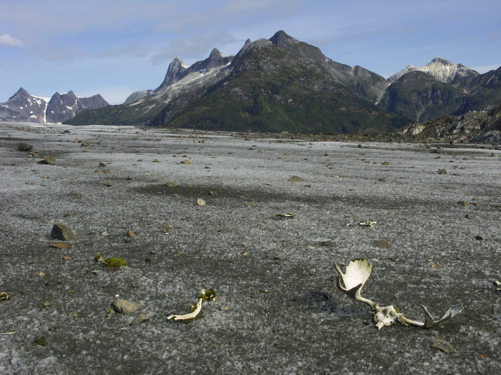When you find a moose's bones out on the Brady Glacier, you've got to wonder.  After all, there isn't exactly a lot to eat out there.