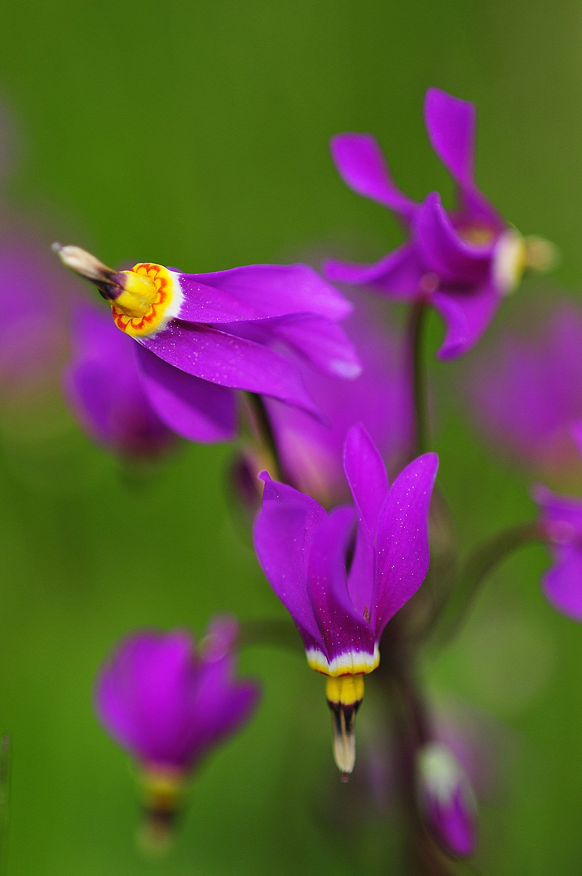 Wildflower called a Shooting Star.