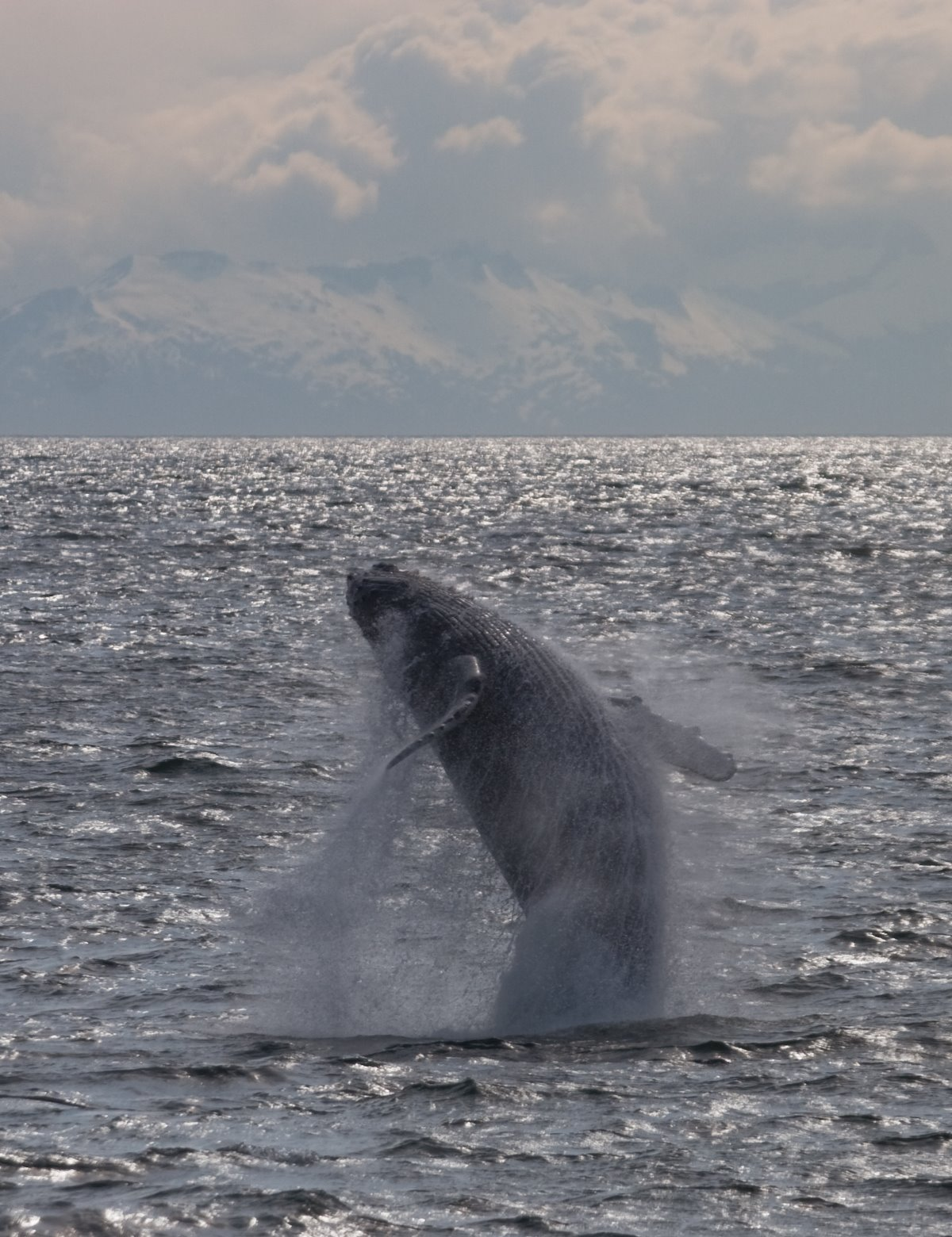 The powerful twisting arc of a breaching whale.