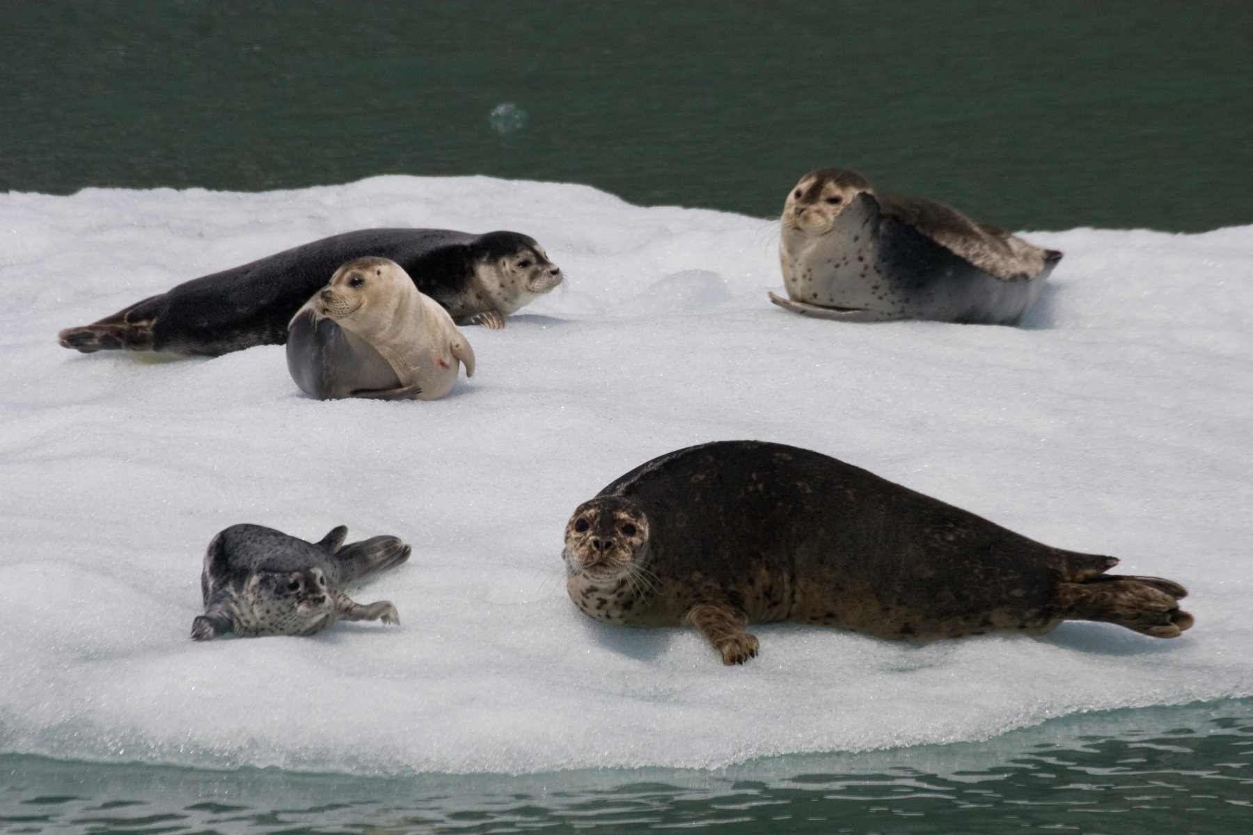 Harbor seals haul out on the ice and rest for extended periods of time.