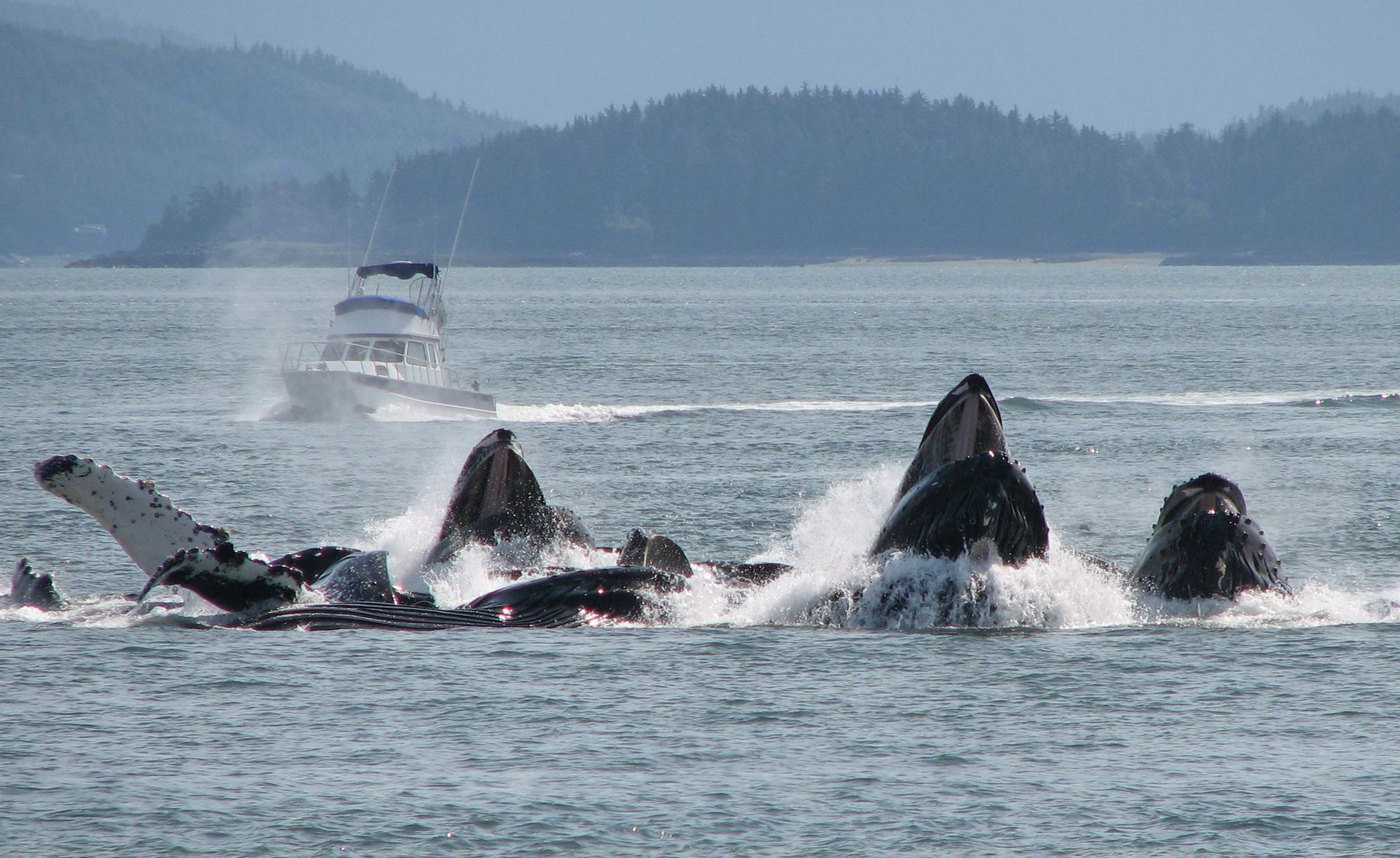 Humpback whales feeding as a group in a method known as bubblenetting.
