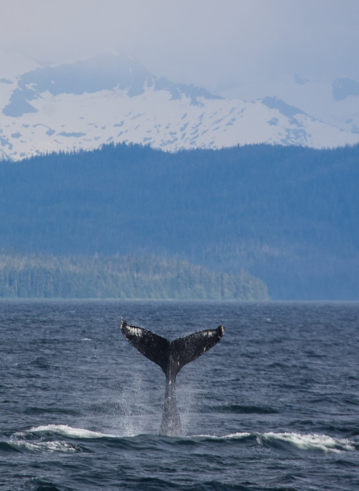 "Humpback whales engaging in ""tail-lobbing."