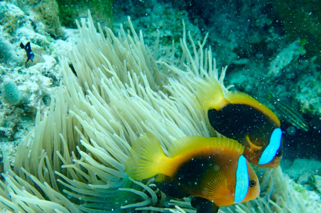 Kitava Island Clown fish