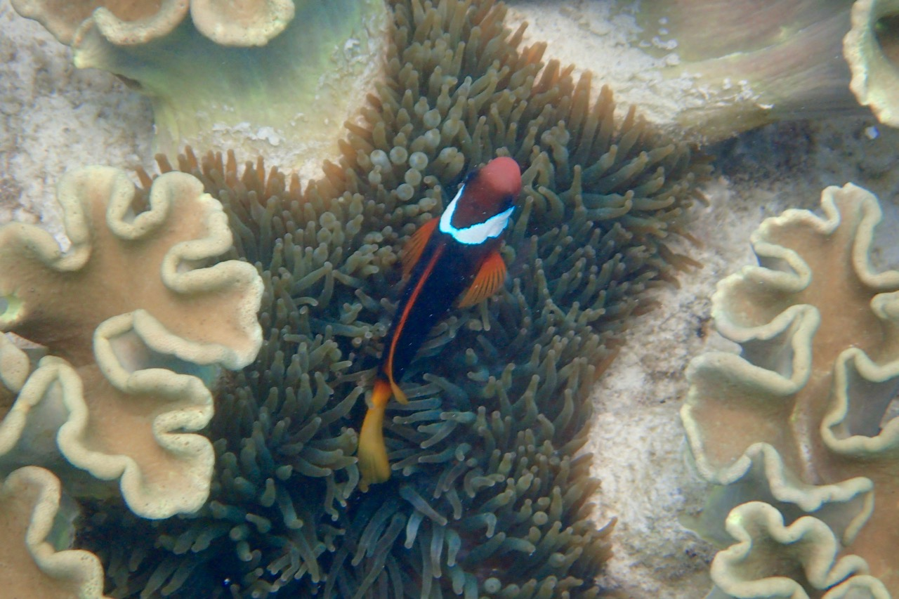 Doini Island clown fish